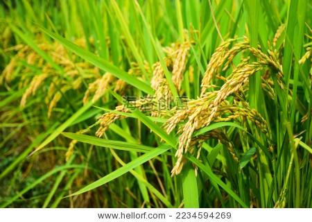 成熟的稻谷 稻穗 特写 - 背景/素材,自然 - 站酷海洛