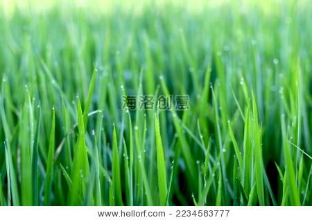 露珠水稻植物微距 - 背景/素材,自然 - 站酷海洛创意