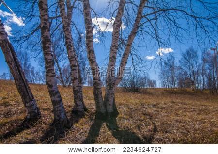桦树林 - 背景/素材,自然 - 站酷海洛创意正版图片