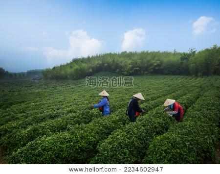 仪征扬州农民采摘茶叶 - 自然,公园/室外 - 站酷海洛