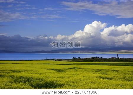 青海湖油菜花田