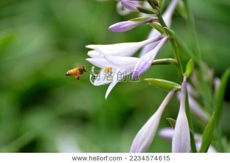 自然中的小生物-蜜蜂/野生蚊子,动物-海洛创意花丛咬龟吗图片