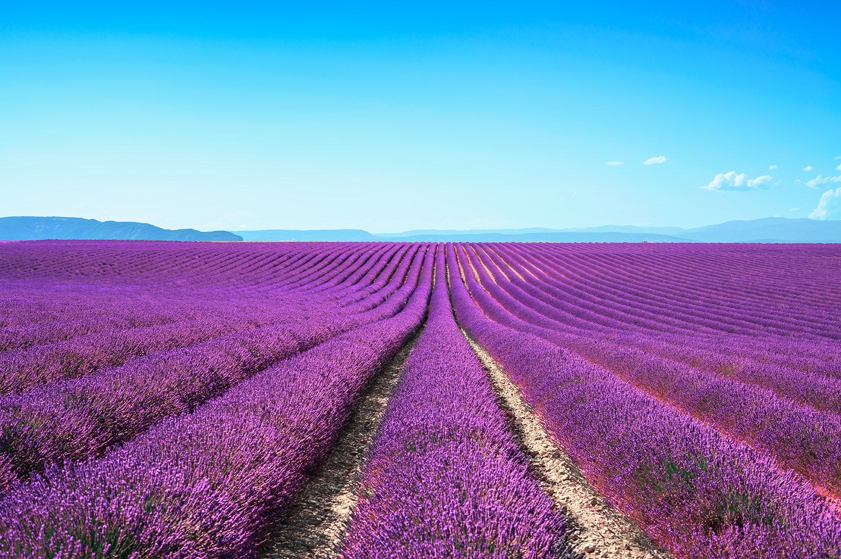 Lavender flower blooming scented fields in endless rows by StevanZZ