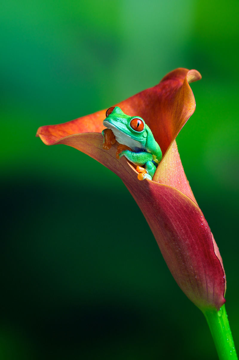 Red eye tree frog in an exotic plant by Mark Bridger