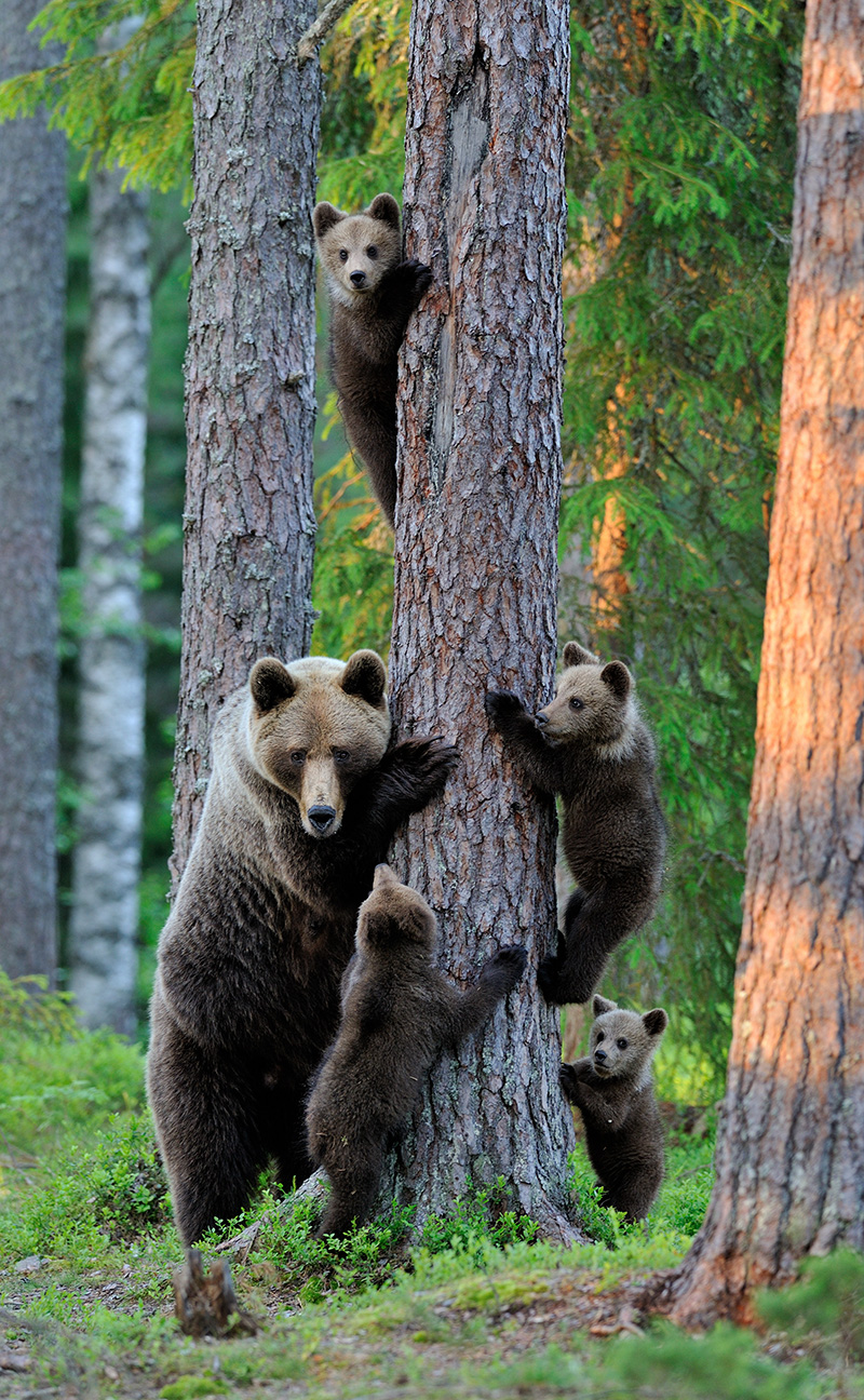 Brown bear with cubs in forest by Erik Mandre