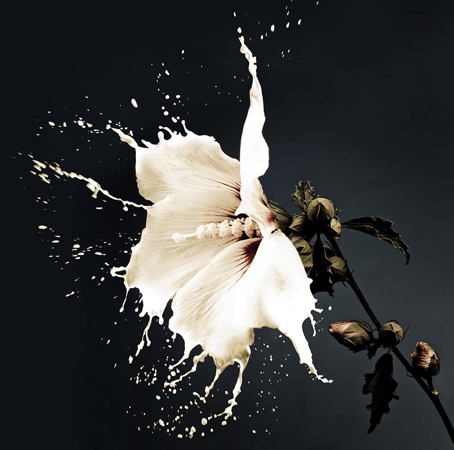 white flowers with milk splash on dark background by Zdenka Darula